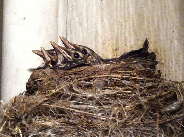 Four baby robins getting ready to fly