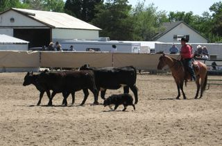 Dog and Handler drive cattle around obstacles at the Reno Rodeo Cow Dog Trials in 2011